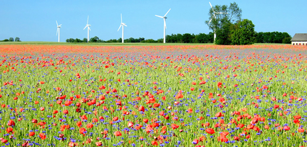 Grain Field with Wild Flowers and Wind Turbines