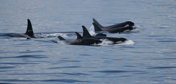 Killer_whales_by_ilovegreenland