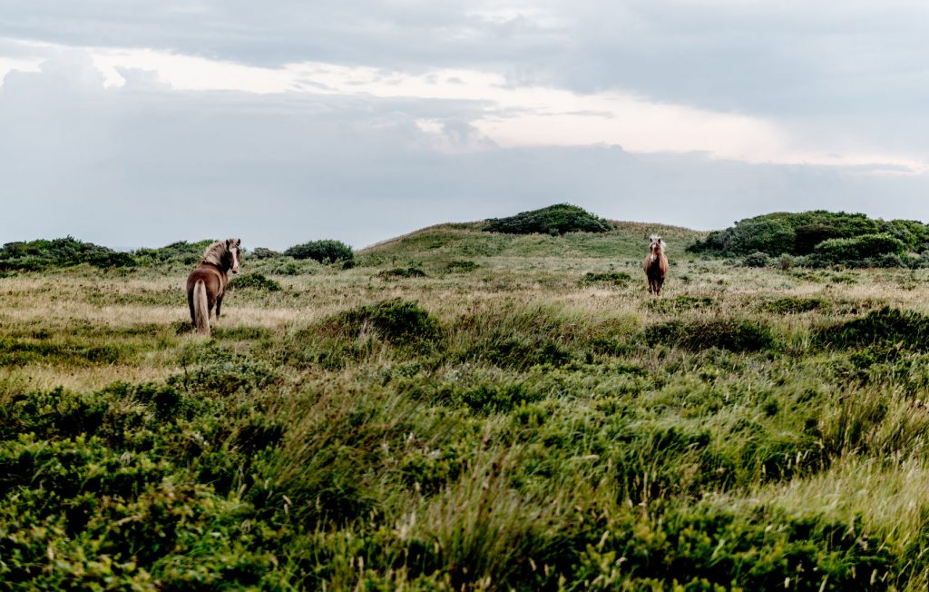 National Park Thy horses by Mette Johnsen