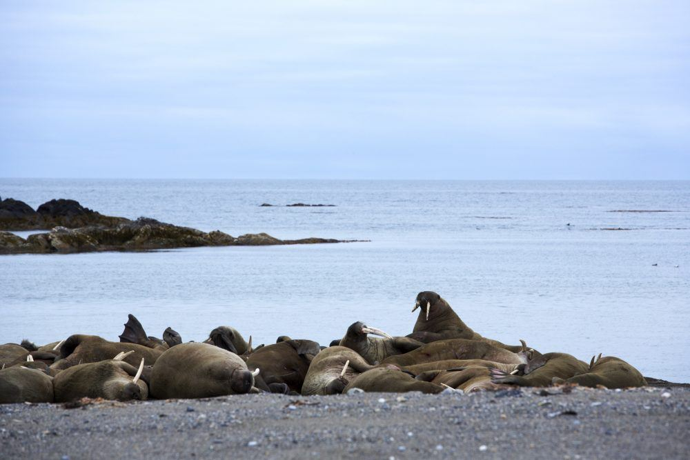 Walruses on the shore (Photo by Basecamp Explorer)